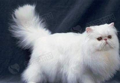 加菲猫和波斯猫有什么区别?